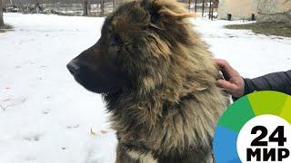 В горах Северной Осетии собаки-спасатели сдали экзамен на профпригодность - МИР 24