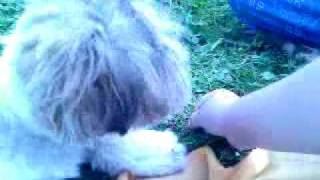 Chandler (shih-tzu) - He's Goat! :d