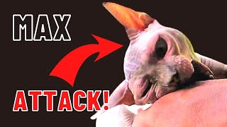 Sphynx Cats [ ATTACK !!! ]  Max the Sphynx