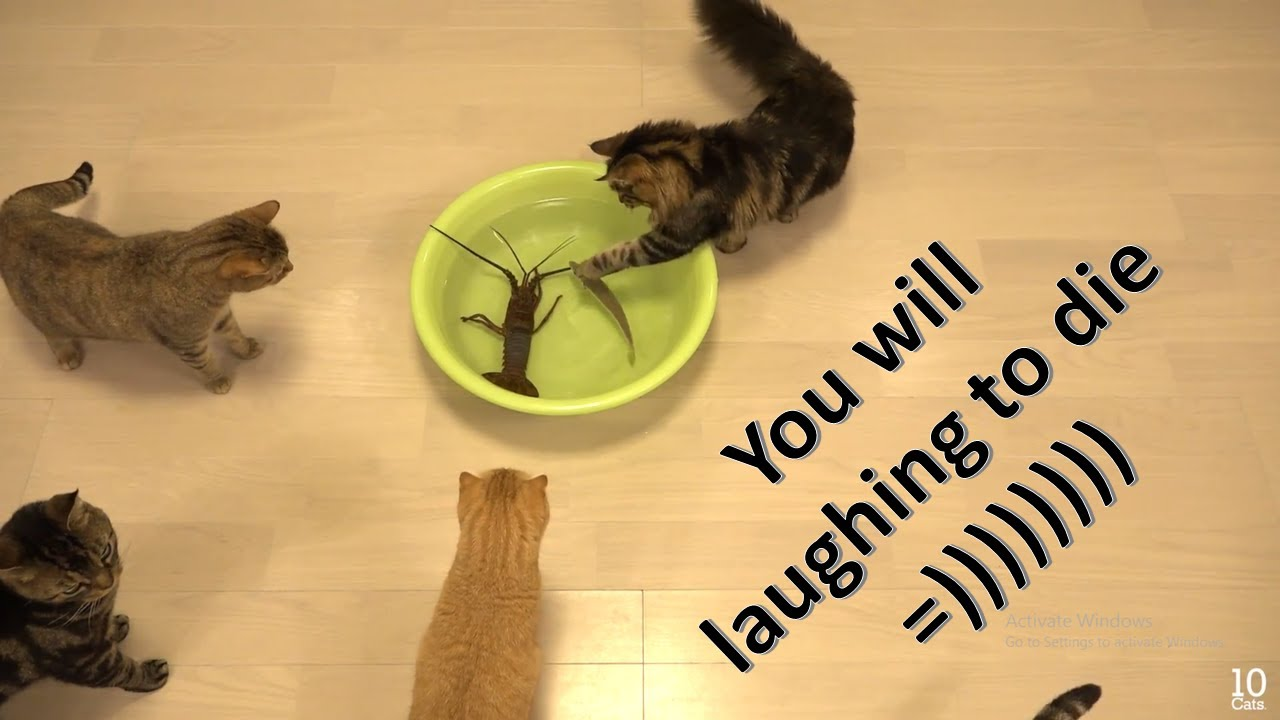 funny cat videos - Cats are so funny you will die laughing Part 1