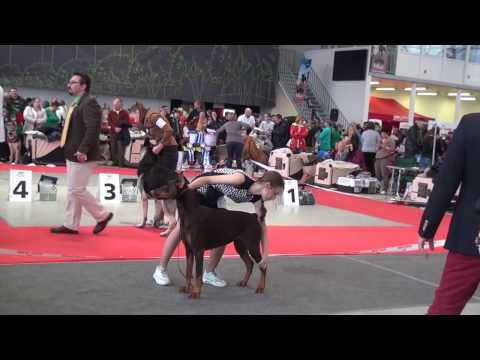 """DELTA PAL"" DOBERMANNS BROWN DOGS, BEST DOG,PROGENY AND PARES 18 12 2016"
