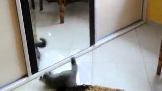 Cat scared from itself in the mirror