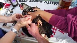 Chicken Scale Mite Tumors
