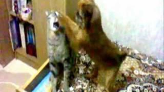 Бои без правил (Брюссельский грифон и кот)(, 2012-02-11T18:04:02.000Z)