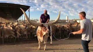 Huge Horn Steer Stands Proudly || ViralHog