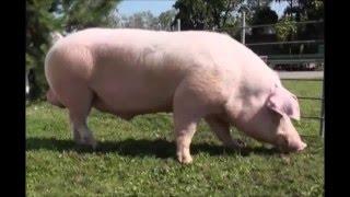 Ландрас (порода свиней)