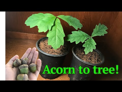 How to grow a White Oak tree from acorn/seed