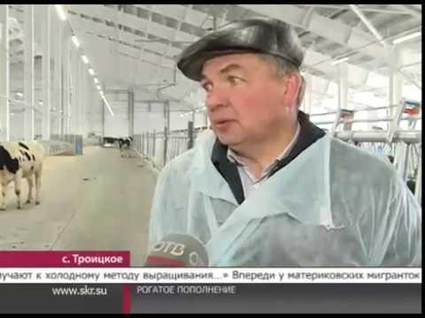 В село Троицкое прибыла партия коров