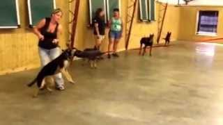 "Best Black And Red German Shepherd Bitch ""hazel"" Protection Training & Development For Sale"