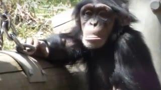Cute kid chimpanzee (3 years old).かわいいチンパンジーの子供(三歳...