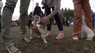выставка собак, Кемерово 2014, клуб Фауна, джек рассел терьер