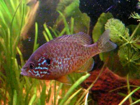 My Pumpkinseed Sunfish In Tank/Sonnenbarsch Im Aquarium[2/4]