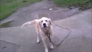Köpek sesi Köpek Havlaması