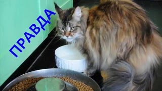 Коты Мейн-куны, выпуск 4