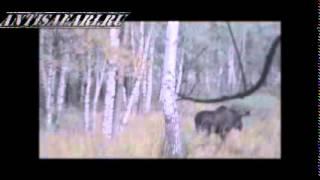 охота на лося в период гона 2014