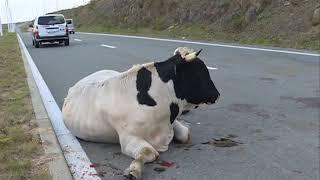 Корова попала под колеса авто на Русском острове