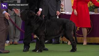 Neapolitan Mastiffs | Breed Judging 2020