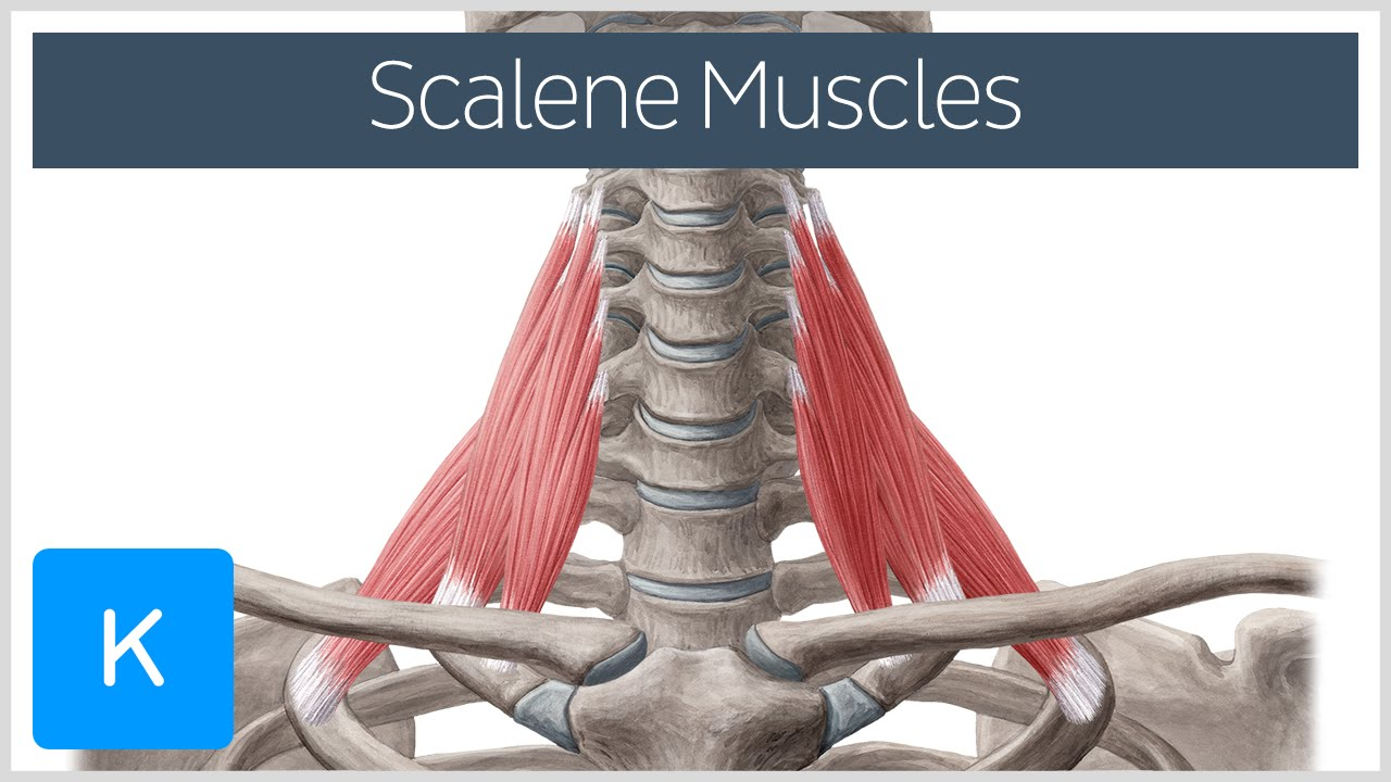 scalene muscles - definition & area - human anatomy | kenhub - youtube, Human Body