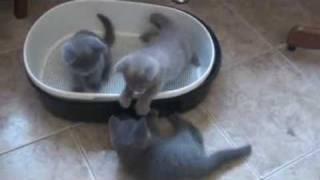 Британские котята - Питомник   «WONDERFLEUR*Ru»  2009 г.