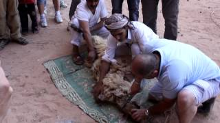 Bedouin Slaughter a Sheep