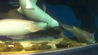 Брачные игры акул