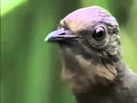 Lyrebird (Lir quşu)