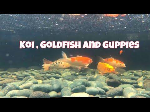 Aquarium - Koi , Goldfish , Mollies