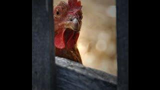 Инкубаторы, подстилка, индюки, цыплята. Вопрос - ответ.