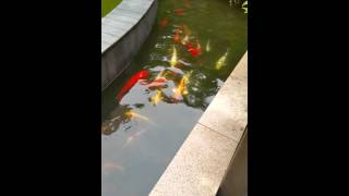 koi fish pond china guanzo