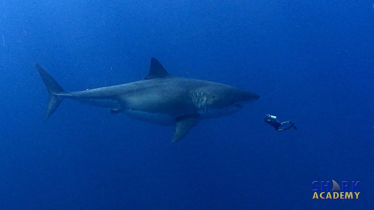 Megalodon Sharks   SHARK ACADEMY   Doovi