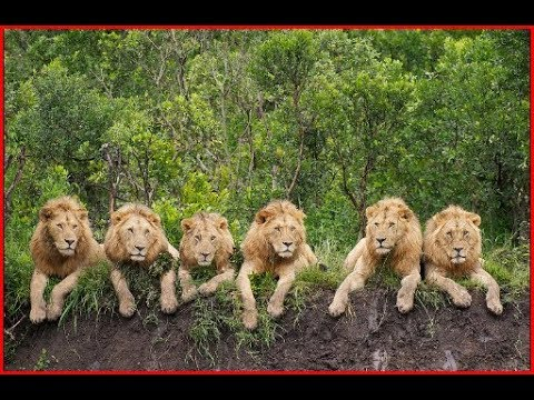 Lion Documentary HD 2018 BBC Best Documentary David Attenborough's  Animals of Africa