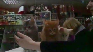 Актировка котят мейн кун в клубе
