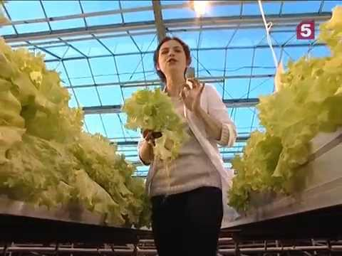Чем полезны листья салата? Есть можно! Утро на 5