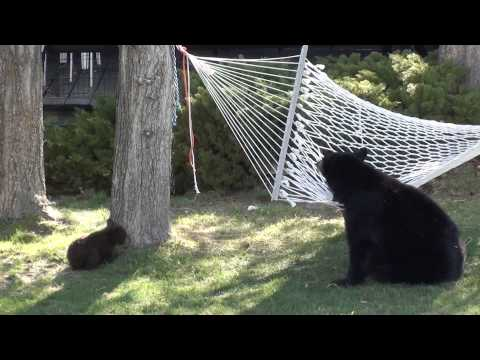Baby Bears on Hammock