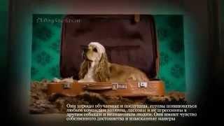 Маленькие породы собак Американский кокер спаниель