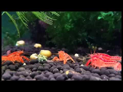 CPO, Cambarellus patzcuarensis orange - Shrimp Visions