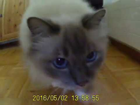 curious Birman cat