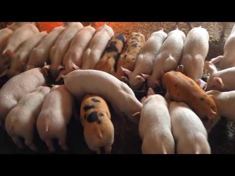 Выращивание свиней в домашних условиях / Как заработать на месячных поросятах