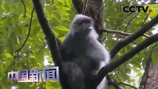 [中国新闻] 云南:红外相机拍到灰叶猴家庭生活场景   CCTV中文国际