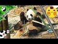 《熊貓早晚安》一日一根竹,健康又排毒 | iPanda熊貓頻道