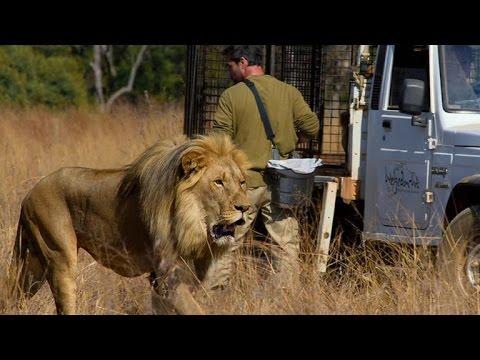 How Lions Choose Their Prey