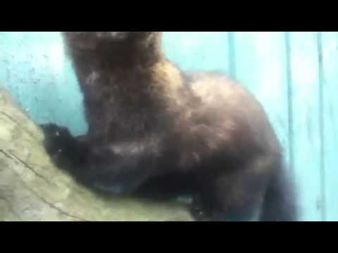 Taxidermy: fisher cat