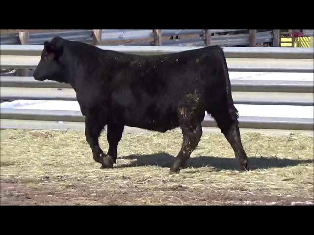 Connealy Angus Lot 23