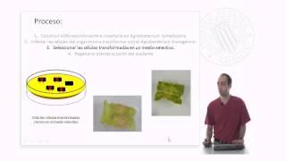 Transformación genética mediante Agrobacterium tumefaciens