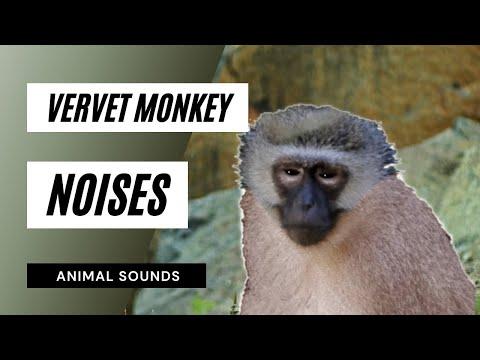 The Animal Sounds: Vervet Monkey Calls - Sound Effect - Animation