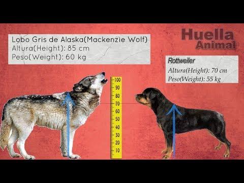 Comparación de Tamaño de Perros de Raza Grande y Lobo Gris de Alaska