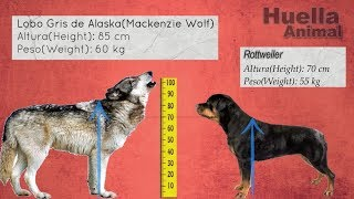 Size Comparison of Large Breed Dogs and Gray Alaskan Wolf
