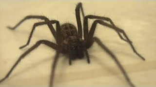 Giant House Spider (Big Spider In My House)