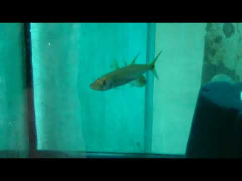 Yellowtail Freshwater Barracuda- Care Guide