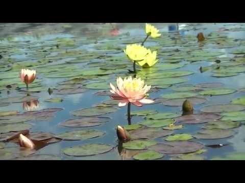 Кувшинка - водное растение семейства Кувшинковые. Экопарк Z
